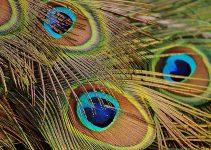 bulk peacock feathers